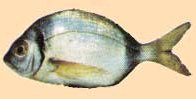 Riba fratar