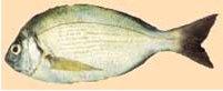 Riba kantar